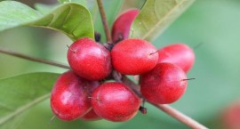 公认十大难吃的水果,吃过5种是牛人!东北人表示毫无压力