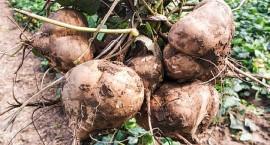 """常被错认是""""红薯"""",南方人认为水果,北方人却当菜炒着吃"""